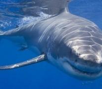 Применение аптечного акульего жира