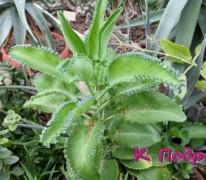 Фитотерапия, или Целебный цветок Каланхоэ от недугов