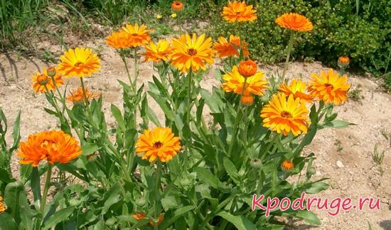 Цветы ноготки